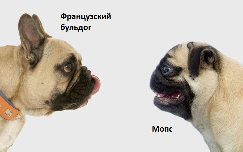 мопс и французский бульдог фото