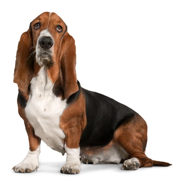 собаки бассет хаунд фото
