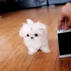 Мальтезе мини - Купить и щенков из питомника и частные объявления