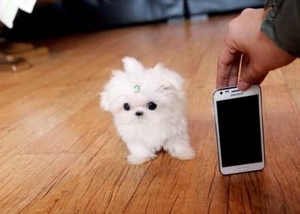собака мальтезе мини